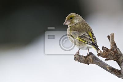 Verdier Oiseau d'Europe en hiver femelle