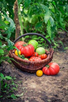 Fototapete Verschiedene Tomaten auf dem Boden
