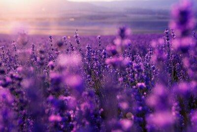 Fototapete verschwommenes Sommer Hintergrund wildes Gras und Lavendelblüten