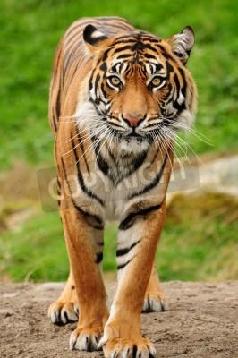 Fototapete Vertical portrait of a Royal bengal tiger