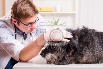 Vet sucht der Hund die Ohren im Büro