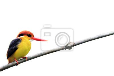 Vogel (Black backed Kingfisher) auf weißem Hintergrund