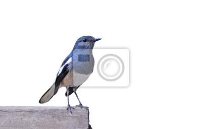 Vogel-Elster, die vor weißem Hintergrund.