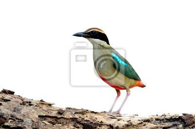 Vogel (Fairy Pitta) zu auf weiß