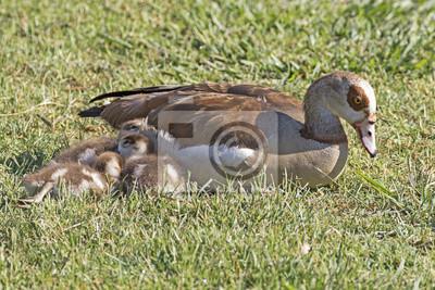timeless design 4e342 25bb2 Fototapete: Vogel mutter gans und baby gänse entlang seeufer am lake balboa