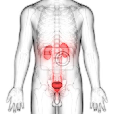 Vorderansicht der menschlichen körperorgane (nieren mit harnblase ...