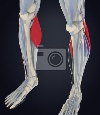 Wadenmuskulatur, menschliche anatomie, gastrocnemius. 3d darstellung ...