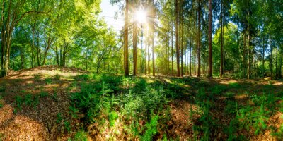 Fototapete Wald mit alten Bäumen und Sonne, die eine Lichtung erleuchtet
