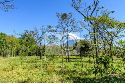 Mahagonibaum  Waldland & mahagoni baum setzlinge mit agua vulkan im hintergrund ...