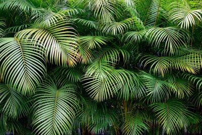 Fototapete Wall of green tropical palm frond leaves with exotic shapes and textures in Colombia, South America.