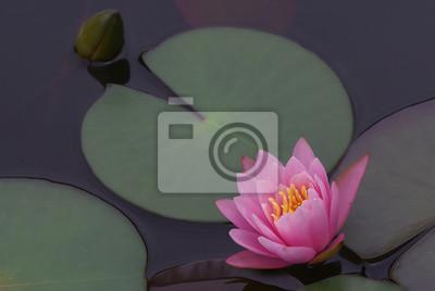 Wasser Blume Lotus Lilie Rosa Teich Natur Pflanze Waterlily