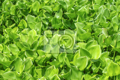 Water Hyacinth cover a pond.