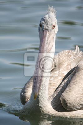 Waterbird, graupelikan.