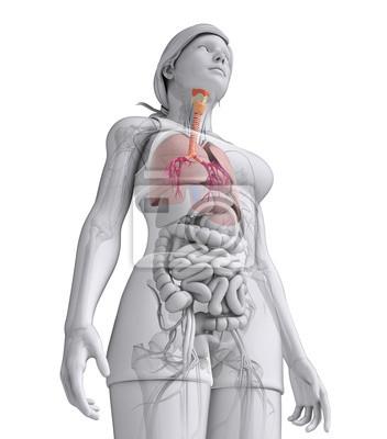 Weiblich hals anatomie fototapete • fototapeten Doppelpunkt, Traktat ...