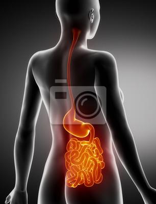 Weiblich magen und lunge anatomie x-ray rückansicht fototapete ...