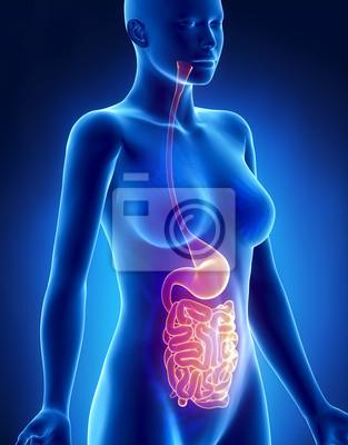 Weiblich magen und lunge anatomie x-ray seitenansicht fototapete ...