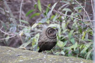 Weibliche Amsel wachsam auf einer Steinmauer sitzt