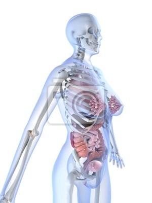 Weibliche anatomie fototapete • fototapeten Vagina, Darm, anatomisch ...