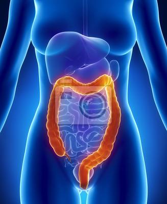 Weibliche anatomie colon vorderen röntgen-blick fototapete ...