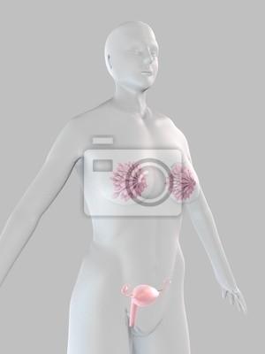 Weibliche anatomie mit gebärmutter und brust fototapete ...