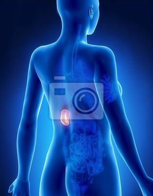 Weibliche anatomie spleen x-ray rückansicht fototapete • fototapeten ...
