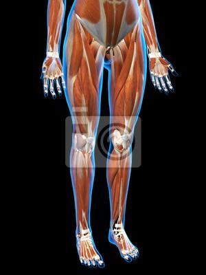 Weibliche bein-muskeln röntgenblick fototapete • fototapeten Knie ...