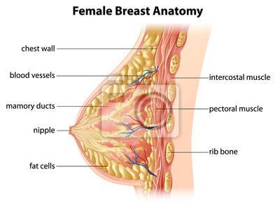 Weibliche brust anatomie fototapete • fototapeten Mamma, Knoten ...