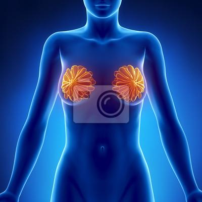 Weibliche brust anatomie vordere ansicht fototapete • fototapeten ...