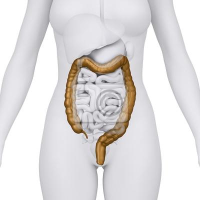 Weibliche doppelpunkt mit bauchorgane - arterior blick fototapete ...