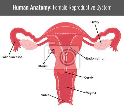 Weibliche fortpflanzungssystem detaillierte anatomie. vektor ...