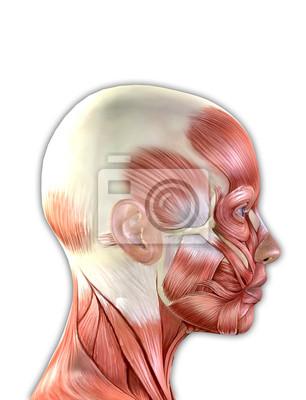 Weibliche gesichtsmuskeln anatomie fototapete • fototapeten medicals ...