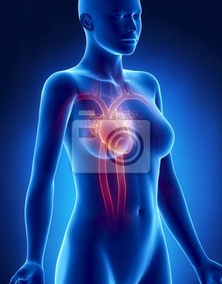 Weibliche herz anatomie röntgenseitenansicht fototapete ...