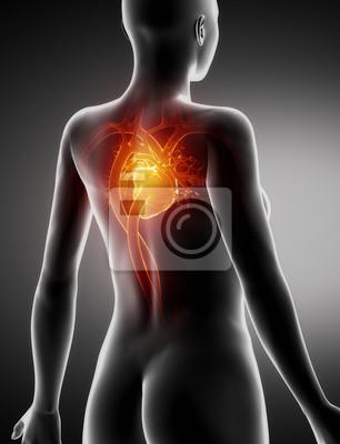 Weibliche herz anatomie x-ray rückansicht fototapete • fototapeten ...