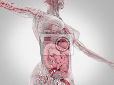 Weibliche menschliche anatomie, torso zeigt darm. 3d abbildung ...