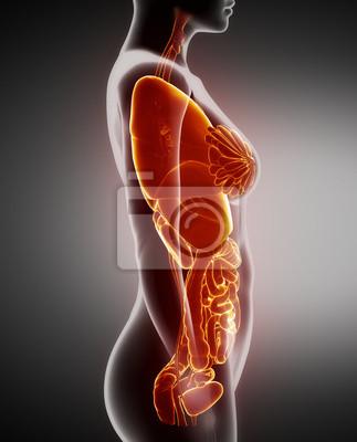 Weiblichen organe anatomie x-ray linken ansicht fototapete ...