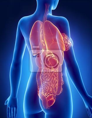 Weiblichen organe anatomie x-ray rückansicht fototapete ...