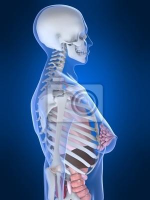 Weiblicher brustkorb fototapete • fototapeten Vagina, Darm ...