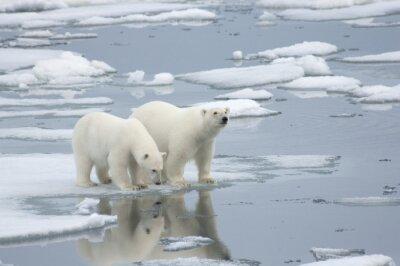 Fototapete Weiblicher Eisbär mit Yearling Cub
