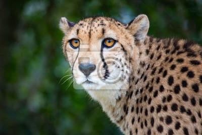 Weiblicher Gepard