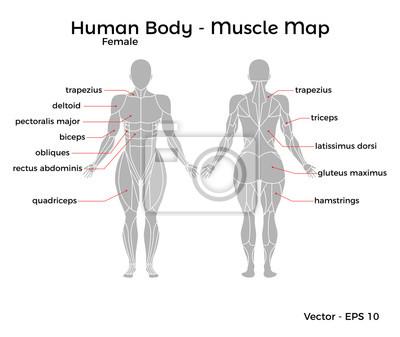 Weiblicher menschlicher körper muskelkarte, mit ...