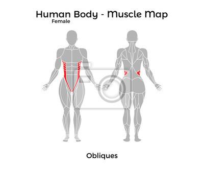 Weiblicher menschlicher körper - muskelkarte, obliques ...