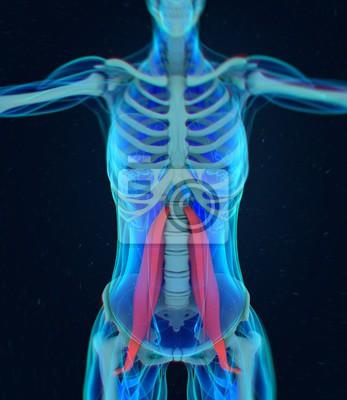 Weiblicher psoas muskel. seelenmuskel menschliches anatomie ...