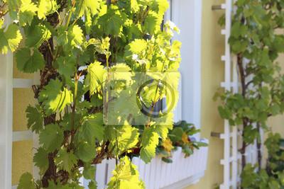 Wein Klettergerüst : Weinstock an der hauswand in sonne fototapete u fototapeten