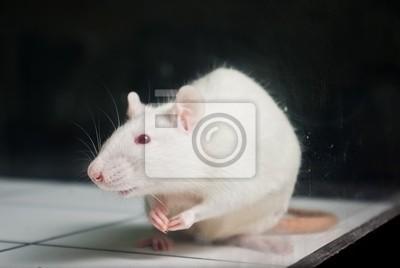 weiß (Albino) Laborratte an Bord während Experiment