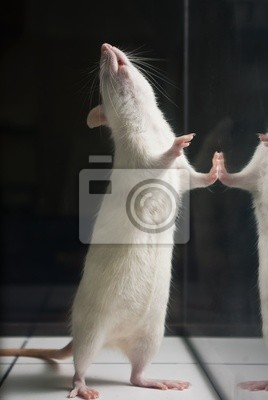 weiß (Albino) Laborratte, die auf zwei Füßen an Bord Duri