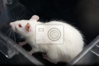 weiß (Albino) Laborratte in Acryl Käfig
