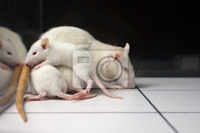 weiß (Albino) Ratte mit Baby Ratten auf offenem Feld Bord