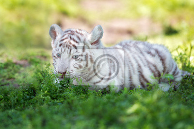 Weiß bengal tiger cub liegend