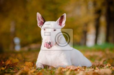 weiß Bullterrierhund Herbst Porträt
