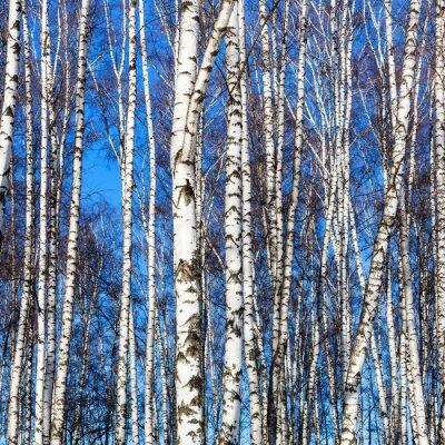 Fototapete Weiße Birkenstämme und blauer Himmel